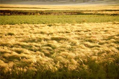 teff_field_ethiopian_highlands